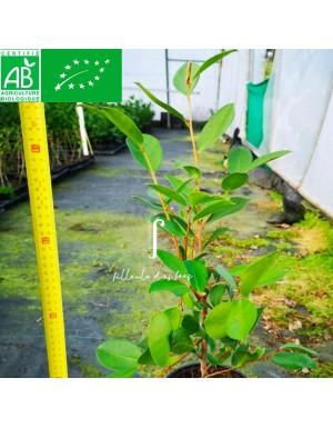 Camellia oleïfera classique
