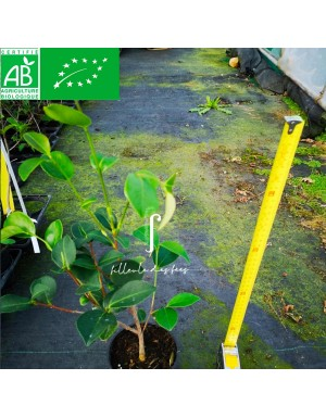 plant de Camélia à huile semiserrata BIO