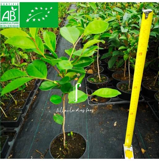Plant de camélia à huile Cenruan BIO
