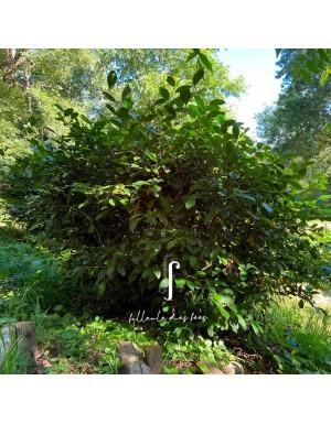 Plant de théier Kolkhida filleule des fées