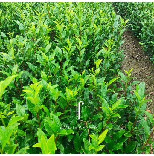 Plant de théier Dishuixiang