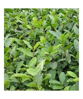 Plant de théier Wuniuzao filleule des fées