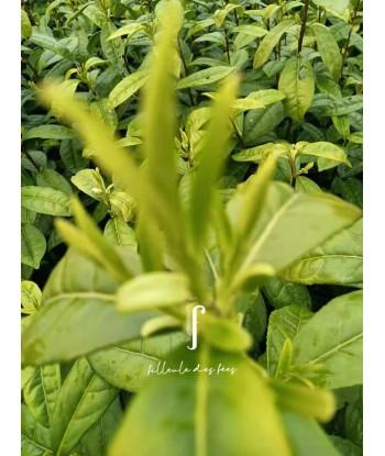Plant de théier Xiaoquan filleule des fées