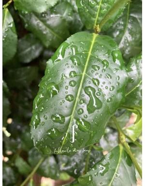 Plant de théier Trévarez