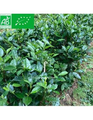 Plant de théier Cuilu bio